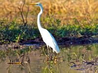 Egret in wetlands