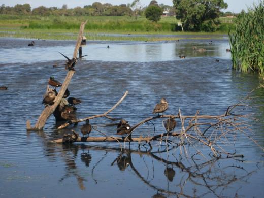 Ducks, Edithvale Wetlands