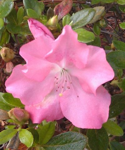 Azalea in my yard.  Grown by digging a hole in the clay and filling it with black soil.