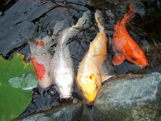 Beauty And Charm Of Ornamental Fish
