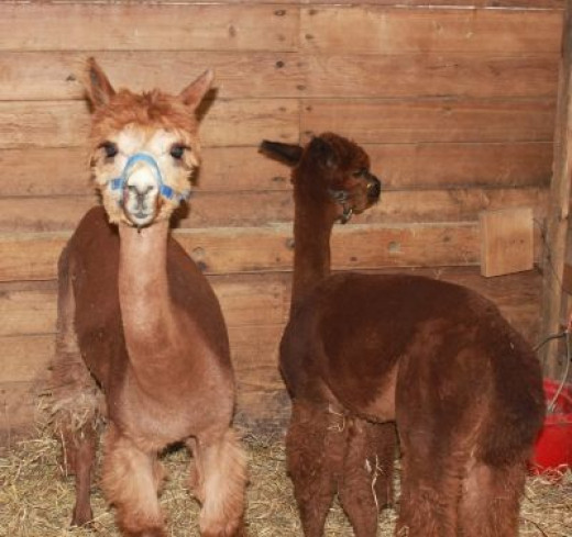 Cute Brown Alpacas