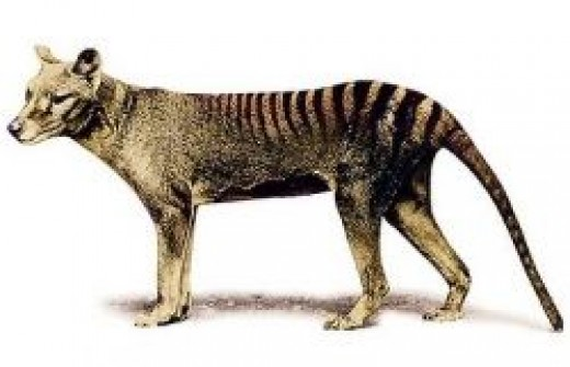 Thylacine also known as the Tasmanian Tiger