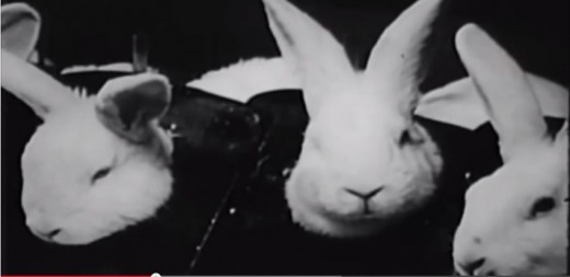 Close up of rabbits receiving IV drug injections.
