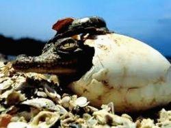 baby_crocodile