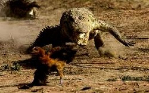 crocodile_and_chicken