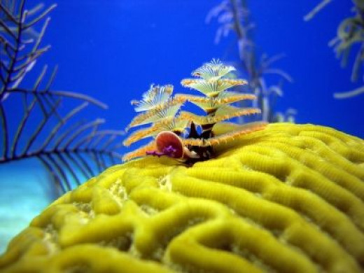 Christmastree worms By Al@in76