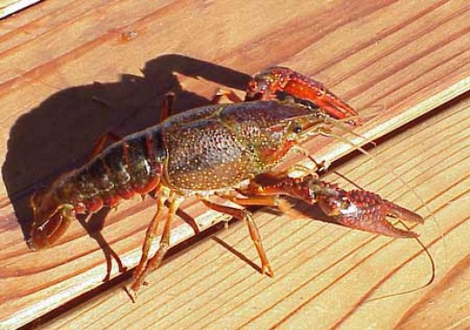 The red cray fish