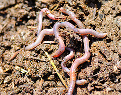 Earthworms At Work In My Garden