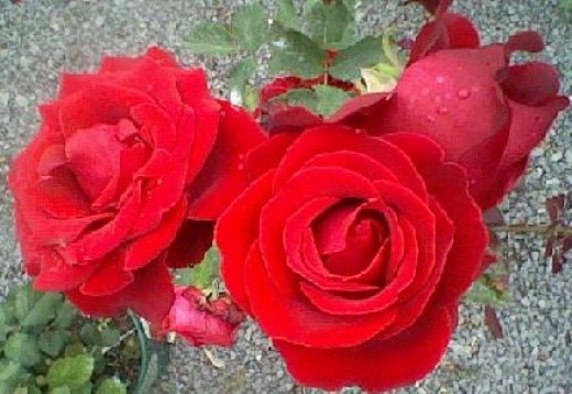 Red Rose - Love, Beauty, Courage