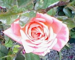 "Pink Rose - Appreciation, ""Thank you"", Grace"