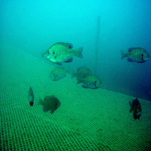 I think they were hungry. They followed us around for the whole 50 minute dive. Photo taken by me, today Sept. 6, 2014