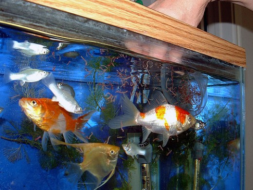 Best Freshwater Aquarium Fish Image Search Results
