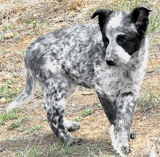 Morgan is an Aussie/Heeler mix.  She is the sister of Melissa.