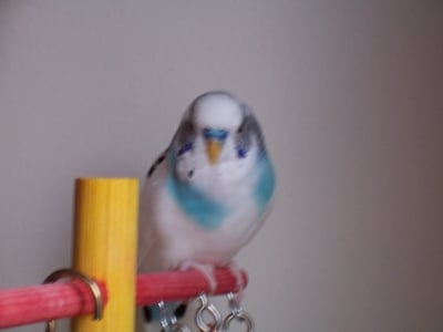 My Budgie Copyright
