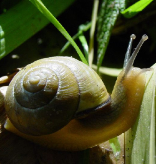 Snails are members of the Mollusk family.