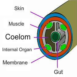 Mollusk Coelom