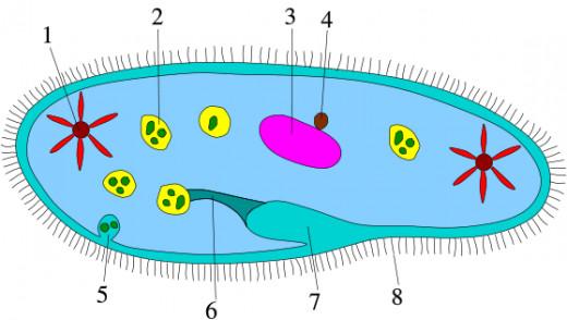 diagram of Ciliophora