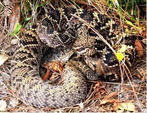 Rattlesnake Polaroid