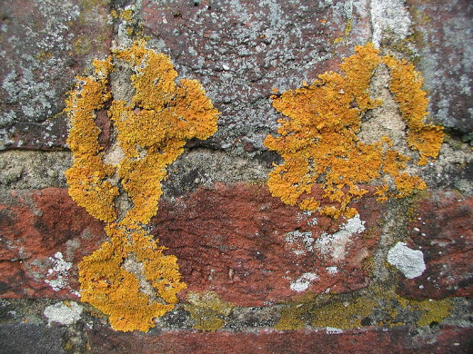 Lichens Growing On A Wall