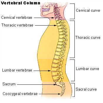 The human spine is segmented.