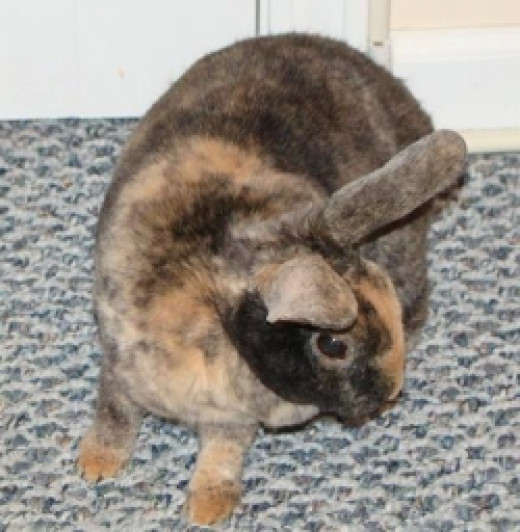 Our house rabbit: Amerisa