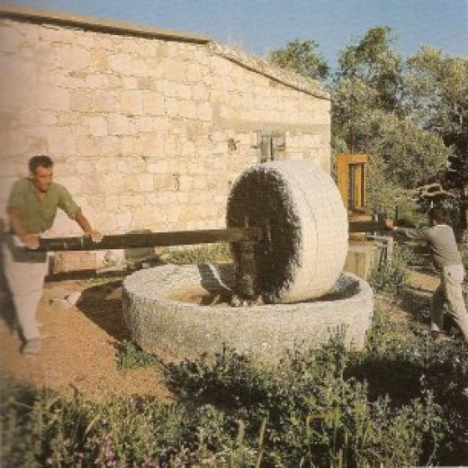 A Cypriot farmer and his young son hard at work extracting the oil from olives in an ancient stone capstan crusher. Most olives are crushed mechanically these days.