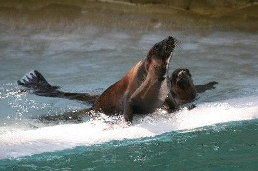 Sea Lions Picture
