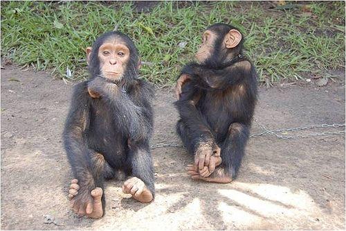 Picture of Chimpamzees