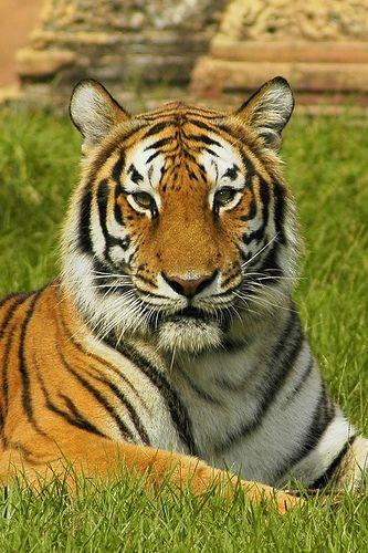 Endangered Bengal Tiger