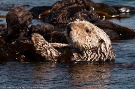 Sea Otter Picture