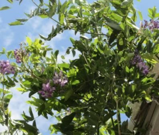 July Wisteria Blooms