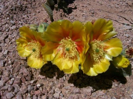 Yellow Flowers on Cactus