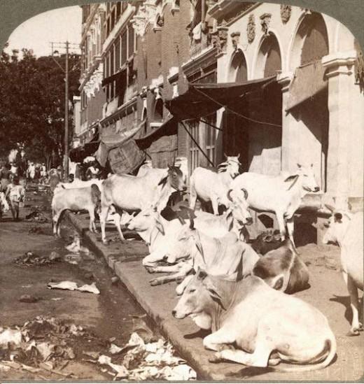 Cows in Calcutta