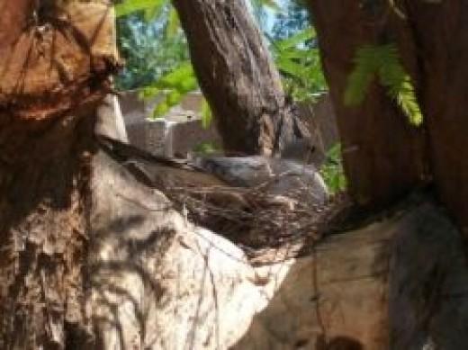 Whitetail Dove Nesting