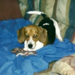 Everything I know About a Beagle I Learned from Sammy