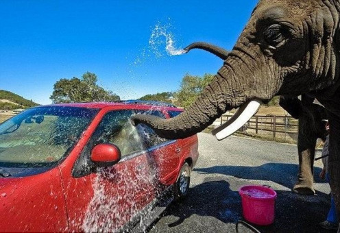 The elephant washing your car is just one of the unique experiences when taking a wildlife safari tour in Oregon.