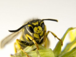 Natural Wasp Killer: Use Products You Already Own