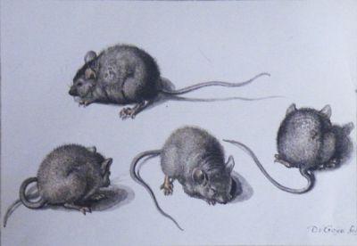 Mice by Jacques de Gheyn