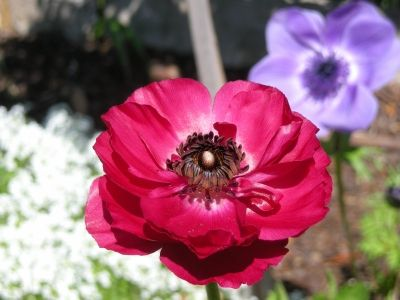 More Anemone Flowers
