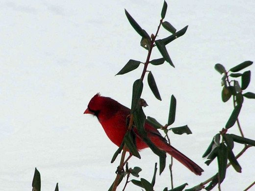 After a snow storm the bright red of the Northern Cardinals pop from the white blanket or winter down.