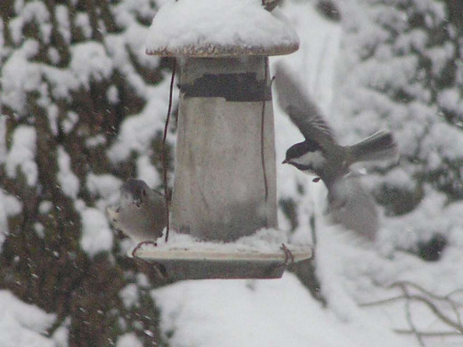 A frequent gathering place for all birds. Caught a Chickadee coming in for a landing. Not seeing the Black Capped Chickadee much this winter 2013/14