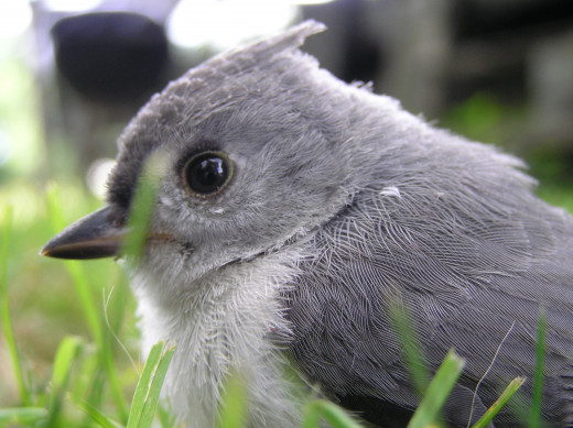 Titmouse stunned from flying into a window