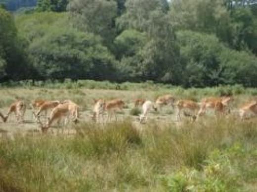 Deer Herd at Bolderwood