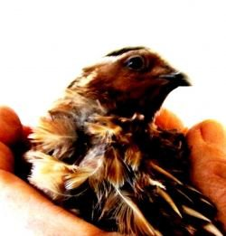 gogkok_quail