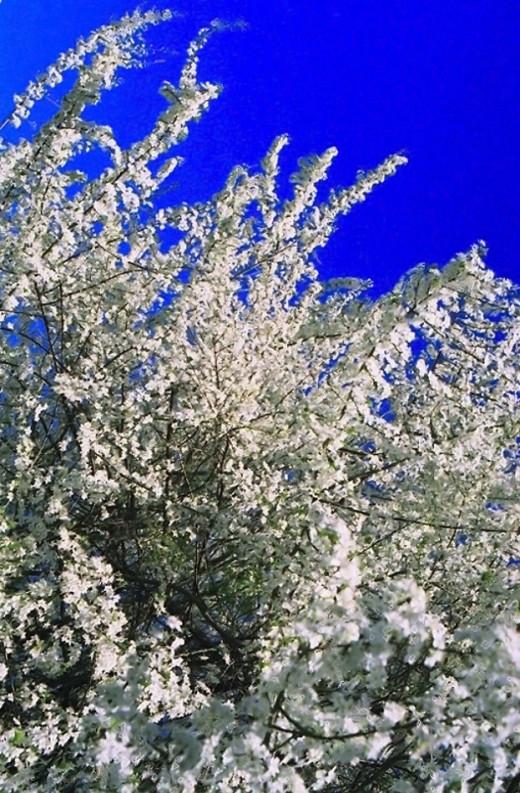 Cherry-Plum blossoms in full bloom