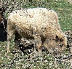 Miracle, the Sacred White Buffalo