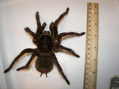 Mammoth Goliath Bird Eater Spider