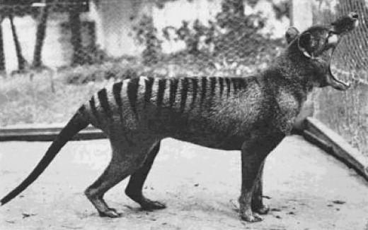 Last Thylacine Yawning