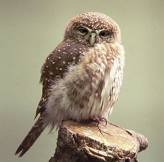 European Pygmy Owl
