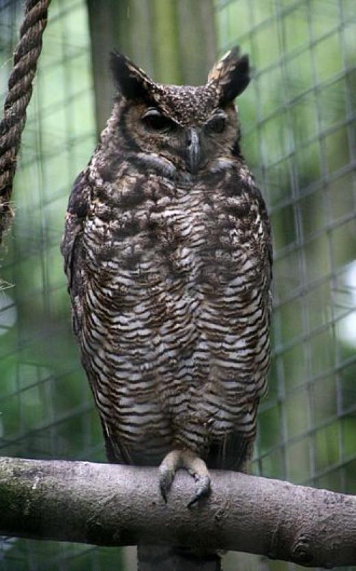 South Americam Great Horned Owl